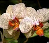 Foto в Домашние животные Растения Продаю Орхидеи  Фаленопсис:Отцветш ие  700руб в Саратове 950