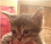 Foto в Домашние животные Отдам даром отдаю дымчатого котенка-мальчика,к лотку в Казани 0