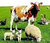 Изображение в Домашние животные Другие животные Продаются: корова дойная – 4 года, около в Туле 0