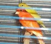 Фотография в Домашние животные Птички продаю канареек и певчих кенаров домашнего в Москве 1