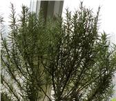 Фотография в Домашние животные Растения укорененные саженцы розмарина разных размеров в Москве 200