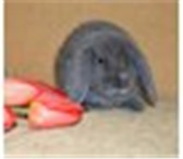 Foto в Домашние животные Грызуны Продаю очень милого и маленького кролика в Нижнекамске 2000