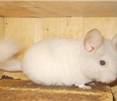 Фотография в Домашние животные Грызуны Продам шиншиллу ,белорозовый самец. Возраст в Таганроге 4500