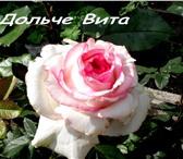 Foto в Домашние животные Растения Продам саженцы садовых роз. Чайно-гибридные, в Красноярске 130