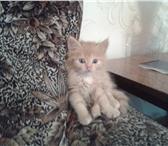 Изображение в Домашние животные Потерянные Потерялся рыжий пушистый котенок (кошечка), в Южноуральске 1000