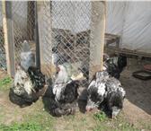 Фотография в Домашние животные Птички продам петухов Брама в Нижнем Тагиле 1200