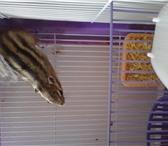Изображение в Домашние животные Грызуны Продам бурундука описание:красивыйздоровыйпол-мужскойпродаю в Калуге 3000