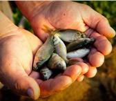 Foto в Домашние животные Рыбки РЕАЛИЗУЕТСЯ РЫБОПОСАДОНЫЙ МАТЕРИАЛ КАРПА, в Москве 150