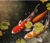 Фото в Домашние животные Рыбки карп Кои-молодь 40-50 гр не сортированный в Москве 1650