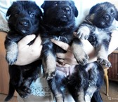 Фото в В контакте Одноклассники Продам щенков восточноевропейской овчарки в Кемерово 6000