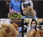 Изображение в Домашние животные Стрижка собак Здравствуйте! Требуются модель шпица для в Москве 1