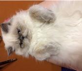 Foto в Домашние животные Вязка Персидская кошечка срочно ищет кота для вязки! в Архангельске 0
