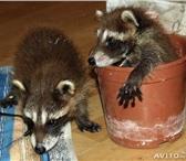 Изображение в Домашние животные Другие животные продам щенков енота-полоскуна, если вы готовы в Таганроге 15000