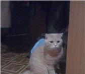 Foto в Домашние животные Вязка Котик в полном рассвете сил, возраст 2 года в Екатеринбурге 2000