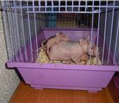 Foto в Домашние животные Грызуны продам лысых крыс.Имеются маленькие крысята, в Усть-Илимск 250