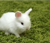Фото в Домашние животные Грызуны Продам белоснежных карликовых домашних кроликов в Нижнекамске 1500