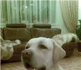 Изображение в Домашние животные Вязка собак Перспективный кобель лабрадора палевого окраса в Самаре 0