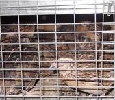 Foto в Домашние животные Птички продаю перепелов так же яйцо тушки перепелов в Чехов 120