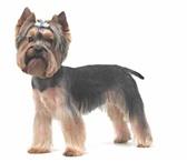 Изображение в Домашние животные Услуги для животных Требуются модели! Собаки породы йоркширский в Хабаровске 800