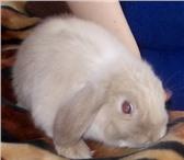 Фото в Домашние животные Грызуны В Питомнике декоративных кроликов «Красная в Владимире 6500