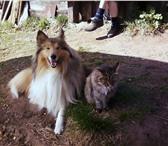 Foto в Домашние животные Услуги для животных очаровательная девочка породы колли ищет в Воткинске 0