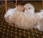 Изображение в Домашние животные Приму в дар отдам 2- х котиков, возраст 2 мес. окрас в Ростове-на-Дону 0