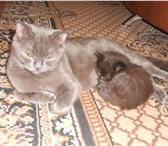 Фотография в ? Отдам даром-приму в дар Котята от британской кошки,папа обычный.Родились в Нижнем Новгороде 0