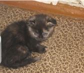 Фотография в Домашние животные Другие животные Продам котят породы скоттиш фолд.Возраст в Салехарде 5000