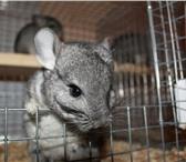 Foto в Домашние животные Грызуны Для организации бизнеса подходит как квартира, в Ижевске 14000