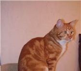 Foto в Домашние животные Вязка Рыжий очень темпераментый красавчик ищет в Москве 0