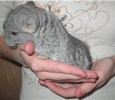 Foto в Домашние животные Грызуны продается шиншилла-мальчик родился 07.02.10 в Москве 3000