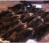 Фото в Хобби и увлечения Охота Куплю шкуры соболя и другую охот продукцию. в Красноярске 0