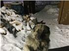 Foto в Домашние животные Вязка собак Ищем сучку для вязки. Кабель возраст 4 года, в Иркутске 0