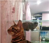 Продаю элитных котят тойгеров, 4327350 Тойгер фото в Москве
