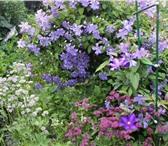 Изображение в Домашние животные Растения клематисы,3гр.обрезки,крупноцветковые. в Красноярске 1