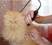 Изображение в Домашние животные Услуги для животных Стрижки кошек без наркоза - сибирских, британских, в Рязани 1000