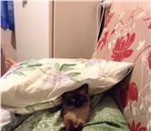 Фотография в Домашние животные Вязка Опыт вязки имеется, порода сиамский(тайский, в Челябинске 0