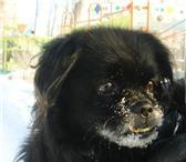 Изображение в Домашние животные Потерянные Помогите пожалуйста!!пропала собака!!!японский в Липецке 0