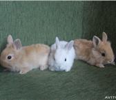 Фото в Домашние животные Грызуны Продаются декоративные кролики карликовой в Таганроге 500