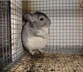 Фотография в Домашние животные Грызуны Представляем Вам САМЫЙ ВЫГОДНЫЙ БИЗНЕС на в Чебоксарах 0