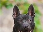 Фото в Домашние животные Вязка собак Девочке тайского риджбека (4 года) нужен в Иркутске 0