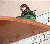 Фотография в Домашние животные Птички ПОПУГАИ  ОБМЕН Меняю пару пестрых розелл в Перми 0
