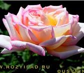 Изображение в Домашние животные Растения Предлагаем Вам лучшие сорта роз французской в Москве 300