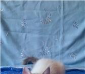 Изображение в Домашние животные Выставки кошек продаются невские маскарадные котята клубные в Советская Гавань 10000