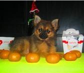 Foto в Домашние животные Стрижка собак Продаётся щенок один мальчик, окрас: соболинный, в Краснодаре 10000