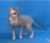 Изображение в Домашние животные Вязка Очень ласковый и опытный кот, носитель колорного в Челябинске 3000