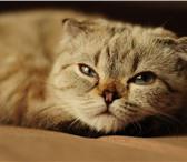 Фотография в Домашние животные Вязка Милашка породистая с родословной,кошечка в Альметьевске 1000