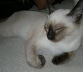 Foto в Домашние животные Вязка Молодой неопытный котей желает познакомиться в Екатеринбурге 0