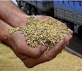 Foto в Домашние животные Корм для животных Продам пшеницу фураж 5 класса. Любой объем. в Екатеринбурге 8000