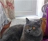 Фотография в Домашние животные Услуги для животных Красивый шотландский кот с опытом ждет на в Москве 2000